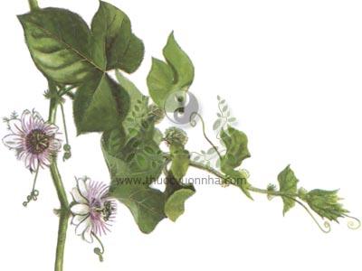 cây lạc tiên, cây lạc, cây nhãn lồng, lồng đèn, hồng tiên, mắc mát, co hồng tiên, tây phiên liên, long châu quả, Pasiflora foetida L.