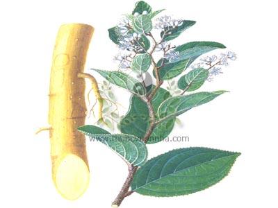 cây chè dung, chè dung, chè lang, chè dại, duối gia, Syplocos racemosa Roxb., họ Dung (Symplocaceae)