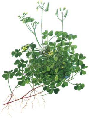 Những cách dùng me đất chua để phòng ngừa lở loét đường miệng
