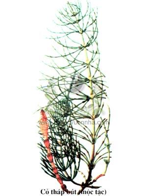 cỏ tháp bút, mộc tặc, tiết cốt thảo, bút đầu thái, búa lọ phì mọi, Equisetum arvense L., họ Mộc tặc, Equisetaceae