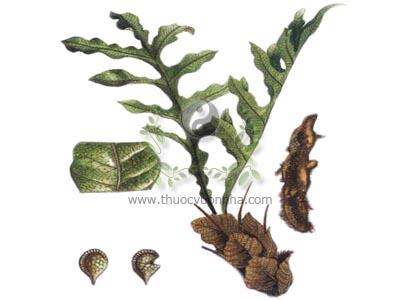 tắc kè đá, cốt toái bổ, bổ cốt toái, co tạng tó, co in tó, cây tổ phượng, cây tổ rồng, tổ diều, tắc kè đá, Drynaria fortunei J. Sm.