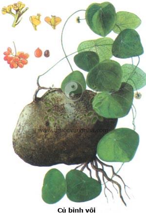 củ bình vôi, củ một, củ mối trôn, ngải tượng, tử nhiên, củ gà ấp, cà tom, Stephania rotunda Lour