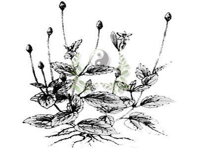 Tận dụng hoa cúc để chữa bệnh