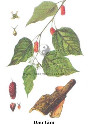 cây dây, lá dâu, tang diệp, Folium Mori, vỏ rễ cây dâu, tang bạch bì, Cortex Mori radicis, quả dâu, tang thầm, Fructus Mori.