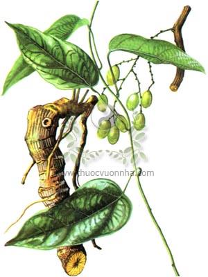 viàng tăng, hoàng đằng, Fibraurea tinctoria Lour., Fibraurea recisa Pierre, họ Tiết dê, Menispermaceae, nam hoàng liên, thích hoàng liên
