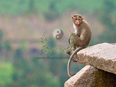 khỉ, con khỉ, huyết lình