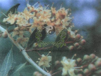 lá móng tay, móng tay nhuộm, chi giáp hoa, tán mạt hoa, thảo nam sơn, lá phụng tiên, Lawsonia inermis L., Lawsonia spinosa L., họ Tử vi, Lythraceae