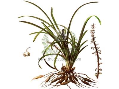 củ mạch môn đông, mạch môn đông, củ mạch môn, mạch môn, củ tóc tiên, tóc tiên, Liriope spicata Lour