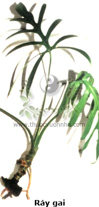 ráy gai, chóc gai, sơn thục, cây cừa, rau mác gai, mớp gai, Lasia spinosa Thwaites.