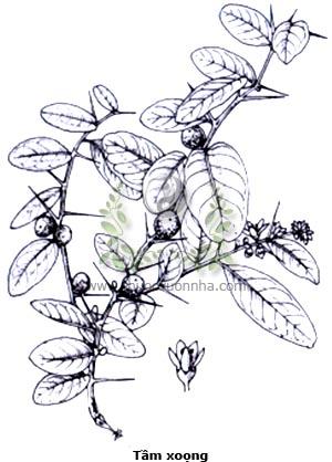 tầm xoọng, tầm sọng, cúc keo, quít gai, quít hôi, độc lực, cây gai xanh, mền tên, tửu bính lặc, đông phong quất, Atalantia buxifolia (Poir.) Oliv., Atalantia bilocularis Wall., Severinia monophylla Tanaka.
