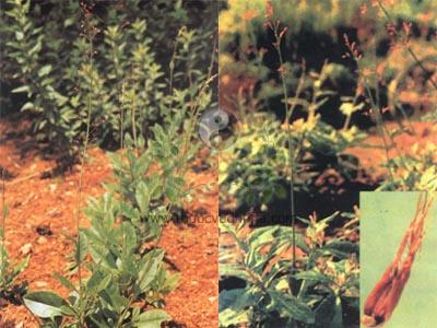 thổ nhân sâm, sâm thảo, thổ cao ly sâm, ngõa sâm, thổ hồng sâm, thủy nhân sâm, Talinul crassifolium Willd., họ Rau sam (Portulaceaceae)