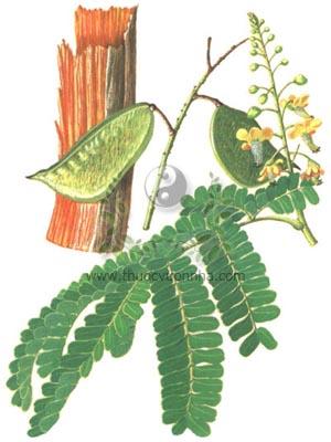 tô mộc, cây gỗ vang, cây vang nhuộm, lõi vang, cây tô phượng, tô phương mộc, co vang, Caesalpinia sappan L., họ Vang, Caesalpiniaceae