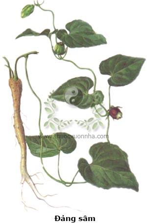 đảng sâm, Codonopsis javanica, sâm dây, hồng đảng sâm, cây đùi gà, mằn rày cáy, co nha dòi, cang ho