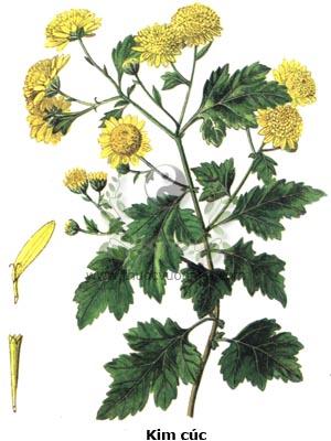 kim cúc, cây kim cúc, cây hoa cúc vàng, cúc vàng, dã cúc, cúc riềng vàng, Chrysanthemum indicum L.
