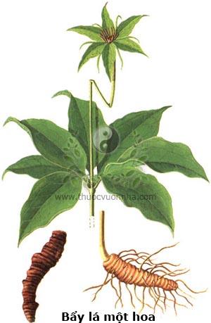 bẩy lá một hoa, thất diệp nhất chi hoa, độc cước liên, thiết đăng đài, chi hoa đầu, tảo hưu, thảo hà xa, Paris polyphylla Sm.