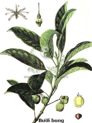 cây bưởi bung, bưởi bung, cơm rượu, bái bài, bí bái cái, mác thao sang, co dọng dạnh, Acronychia pedunculata (L.) Miq.