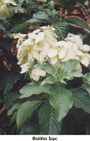 bướm bạc, bướm bướm, hoa bướm, ngọc diệp kim hoa, bứa chừa, Mussaenda pubescens Ait. f.