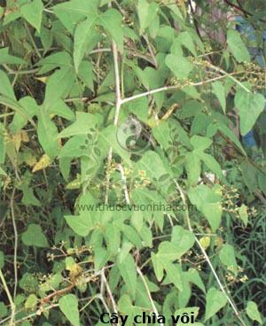 cây chìa vôi, bạch phấn đằng, rau chua, đậu sương, phấn mệnh đằng, Cissus modeccoides Planch.