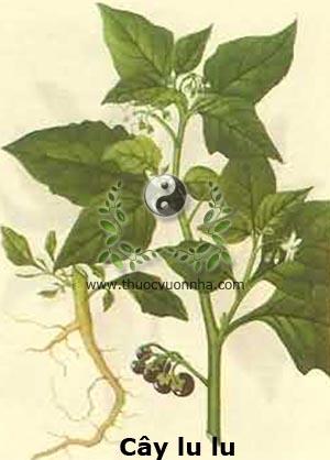 cây lu lu, lu lu đực, thù lù đực, cây nụ áo, long qùy, khổ thái, khổ qùy, lão nha toan tương thảo, gia cầu, thiên già tử, thiên già miêu nhi, Solanum nigrum L.