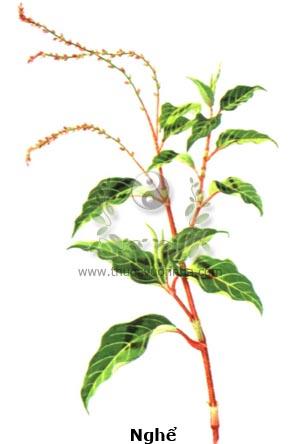 cây nghể, nghể răm, nghể, thủy liễu, rau nghể, Polygonum hydropiper L.