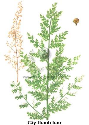 cây thanh hao, thanh hao, thanh cao, thảo cao, hoàng hoa hao, ngải hoa vàng, thanh hao hoa vàng, Artemissia annua L.