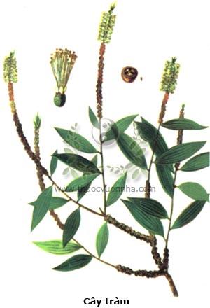 cây tràm, chè cay, chè đồng, Melaleuca leucadendron L., cây khuynh diệp