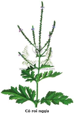 cỏ roi ngựa, cỏ vọt ngựa, nhả tháng én, co pin mạ, mã tiên thảo, hạc tất phong, thoái huyết thảo, Verbena officinalis L.