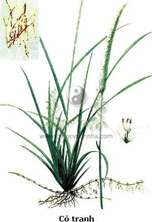 cỏ tranh, bạch mao căn, bạch mao hoa, Imperata cylindrica Beauv.