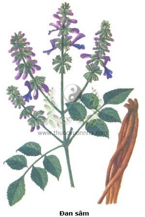 đan sâm, huyết sâm, xích sâm, huyết căn, sơn sâm, tử đan sâm, hồng căn, tử sâm, Salvia multiorrhiza Bunge