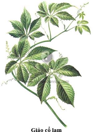 giảo cổ lam, thất diệp đảm, mật đắng 7 lá, phúc âm thảo, ngũ diệp sâm, sâm 5 lá, tiểu khổ trà, trà đắng nhỏ, biến địa sinh căn, Nam phương nhân sâm, kháng nham tân tú, Gynostemma pentaphyllum (Thunb) Makino