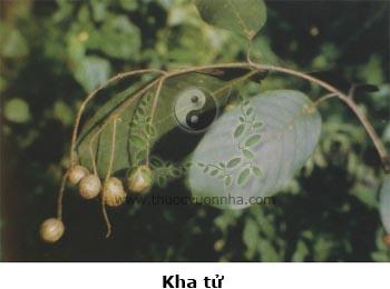 kha tử, kha tử nhục, kha tử bì, kha lê lặc, cây chiêu liêu, Terminalia chebula Retz., Terminalia reticulata Roth., Myrobalanus chebula Gaertn.
