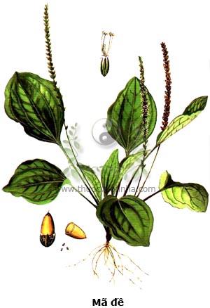 mã đề, xa tiền thảo, mã đề thảo, ngưu thiệt thảo, nhả én dứt, su ma, Plantago asiatia L., Plantago major L. var. asiatica Decaisne
