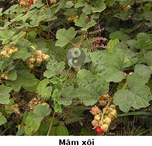 cây mâm xôi, mâm xôi, đùm đũm, đũm đũm, cơm xôi, chúc xôi, mắc hủ, co hu, ghìm búa, thô diệp huyền câu tử, bát nguyệt bào, cửu nguyệt bào, ngưu vĩ bào, Rubus alceaefolius Poir.