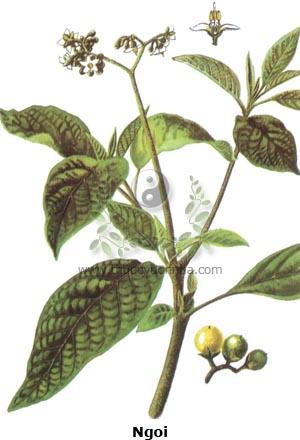 cây ngoi, ngoi, cây la, la rừng, cà hôi, chìa vôi, phô hức, dã yên diệp, thuốc lá dại, giả yên diệp, thuốc lá giả, thổ yên diệp, thạch yên, xú yên, đại vương diệp, Solanum verbascifolium L.
