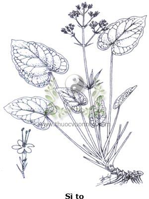sì to, sì to lá tim, nữ lang nhện, tri thù hương, liên hương thảo, Valeriana jatamansi Jones