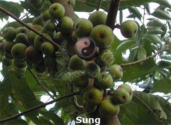 cây sung, quả sung, sung