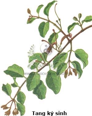 tầm gửi cây dâu, tang ký sinh, đào mộc ký sinh, sa lê ký sinh, tỳ bà ký sinh, do trà ký sinh, Loranthus parasiticus (L.) Merr., tầm gửi (Loranthaceae)