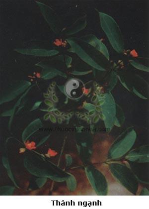 thành ngạnh, lành ngạnh, ngành ngạnh, lành ngạnh hôi, hoàng ngưu trà, cây đỏ ngọn, mạy tỉu, mạy tiện, Cratoxylon prunifolium Dyer, Cratoxylon pruniflorum Kurtz, Ban (Hypericaceae)