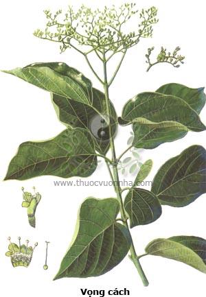 vọng cách, cây cách, bọng cách, Premna serratifolia L., Premna integrifolia L., Gumira littorea Rumph.